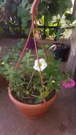 My Petunias